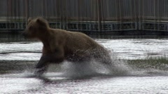 Brown Bear Running Summer Water Stock Footage