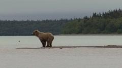 Brown Bear Lone Walking Summer Stock Footage