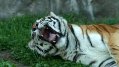 Yawning of a awakening Siberian tigress, lying on green grass in shadow. - stock footage