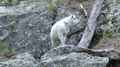 Mountain Goat Young Lone Summer - stock footage