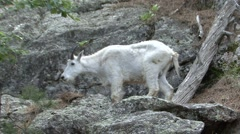 Mountain Goat Adult Grooming Summer Stock Footage