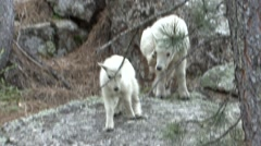 Mountain Goat Young Jumping Summer Stock Footage
