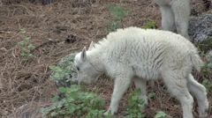Mountain Goat Young Pack Feeding Summer Zoom Out - stock footage