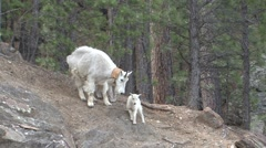 Mountain Goat Summer Wildlife Watching Mountain Goat Stock Footage