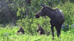 Moose Cow Adult Young Family Alarmed Summer Stock Footage