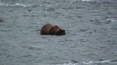 Brown Bear Lone Running Summer Zoom Out Stock Footage