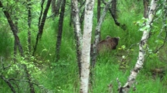 Brown Bear Lone Walking Summer - stock footage