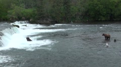 Brown Bear Adult Pair Fishing Summer - stock footage