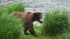 Brown Bear Immature Lone Walking Summer Stock Footage