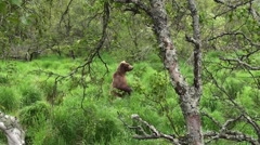 Brown Bear Lone Standing Summer Forest Grass Stock Footage