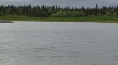 Sockeye Salmon Jumping Summer Lake Stock Footage