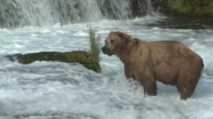 Brown Bear Adult Lone Grooming Summer Shaking Wet Slow Motion - stock footage