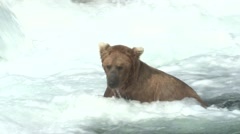 Brown Bear Adult Lone Fishing Summer Slow Motion Stock Footage