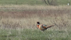 Ring-necked Pheasant Cock Adult Lone Calling Spring Stock Footage