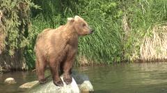 Brown Bear Summer Rock Stock Footage