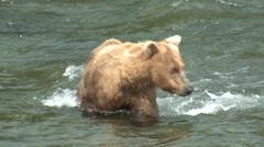 Brown Bear Walking Summer Splashing Feet Closeup Stock Footage