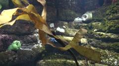 Kelp Summer Sea Underwater - stock footage