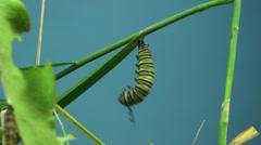 Monarch Caterpillar Lone Metamorphosis Summer Caterpillar Cocoon Chrysalis Stock Footage