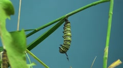 Stock Video Footage of Monarch Caterpillar Lone Summer Caterpillar Cocoon Chrysalis Pupae