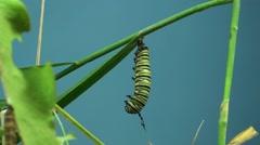 Monarch Caterpillar Lone Summer Caterpillar Cocoon Chrysalis Pupae - stock footage