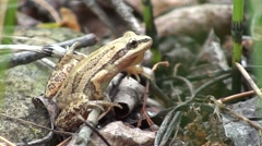 Chorus Frog Lone Summer - stock footage