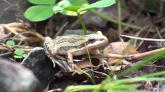 Chorus Frog Lone Summer Stock Footage