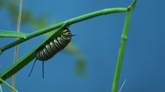 Stock Video Footage of Monarch Caterpillar Lone Summer Hanging Pre-chrysalis