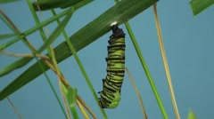 Stock Video Footage of Monarch Caterpillar Metamorphosis Summer Chrysalis Cocoon Pupa