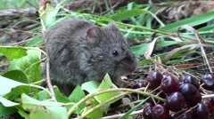 Long-tailed Vole Feeding Summer Stock Footage