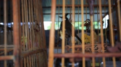 Common Myna birds in a cages on Thailand. HD. 1920x1080 Stock Footage