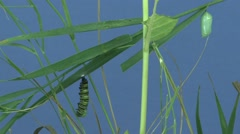 Stock Video Footage of Monarch Caterpillar Pair Metamorphosis Summer Shedding Chrysalis Cocoon Change