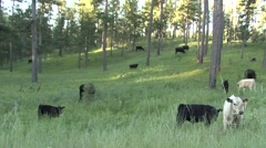 Land Use Black Hills Summer National Forest Grazing Public Lands Cattle Stock Footage