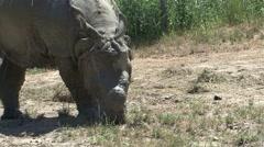 Indian Rhinoceros Summer Rhino Stock Footage