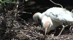 Cattle Egret Pair Nesting Summer Stock Footage