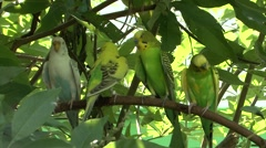 Budgerigar Several Summer Budge Stock Footage