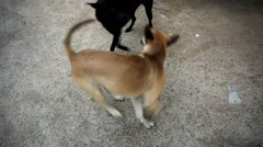 Two mongrel dogs playing on the street. HD. 1920x1080 Stock Footage