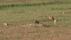 Black-tailed Prairie Dog Family Playing Summer Wrestling Jumping Stock Footage