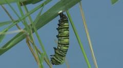 Monarch Caterpillar Lone Metamorphosis Summer Change Time Lapse Indoor Stock Footage