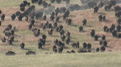 Bison Adult Young Herd Running Fall Stock Footage