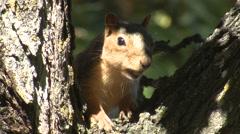 Fox Squirrel Feeding Fall Acorn - stock footage