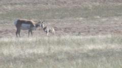 Pronghorn Antelope Adult Attacking Fall Predator Prey - stock footage