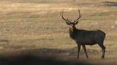Elk Bull Adult Lone Alarmed Fall Running Stock Footage