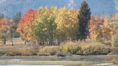 Aspen Fall Foliage Autumn Zoom Out Stock Footage