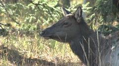 Elk Cow Adult Lone Resting Fall Chewing Cud Closeup - stock footage