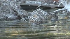 River Otter Family Swimming Fall Stock Footage