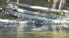 River Otter Family Fall Zoom In Stock Footage