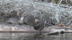 River Otter Family Fall Stock Footage