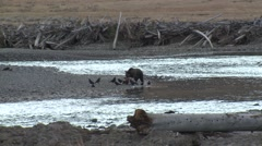 Grizzly Bear Lone Feeding Fall Zoom Out - stock footage
