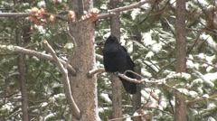 Raven Lone Calling Fall Stock Footage