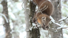 Pine Marten Lone Jumping Fall Stock Footage